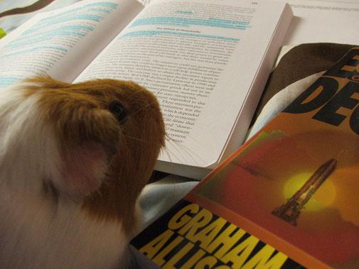 guinea_pig_studying.jpg