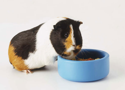 guinea-pig-eating.jpg
