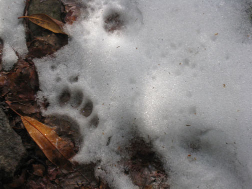 bear_footprint.jpg
